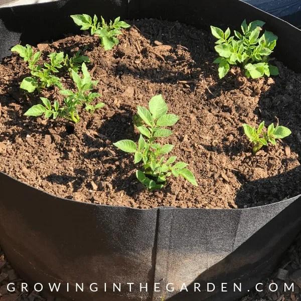 How To Grow Potatoes In Containers Growing In The Garden