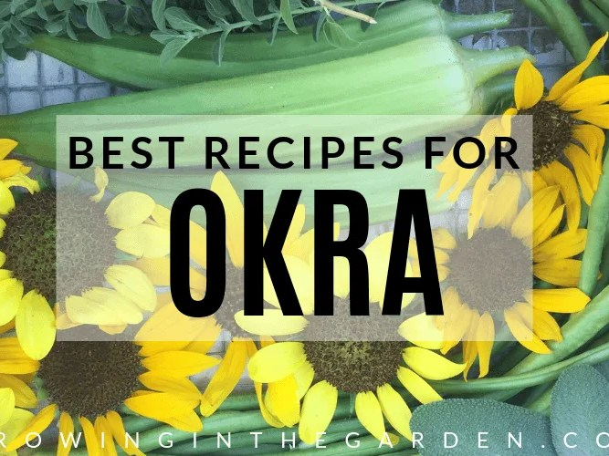 How to grow Okra - 7 tips for delicious okra