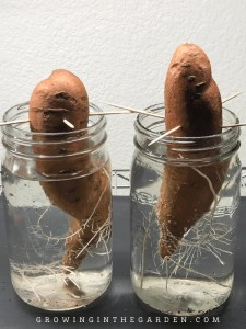 Once you've planted your sweet potato slips, read this article to learn how to grow sweet potatoes.