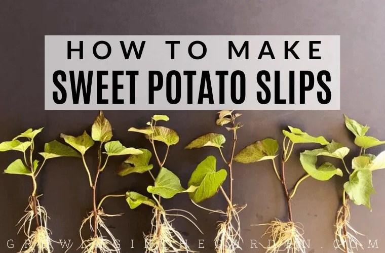 How to make sweet potato slips