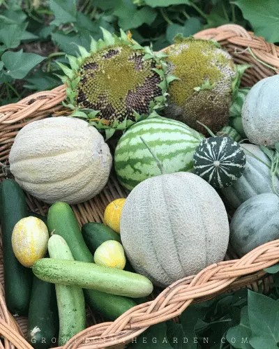 How to Grow Cantaloupe: 9 Tips for Growing Cantaloupe
