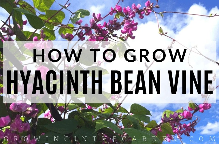 How to Grow Purple Hyacinth Bean Vine​