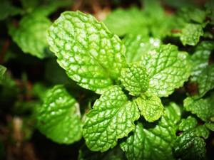growing mint