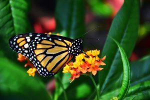 Attract Monarch Butterflies