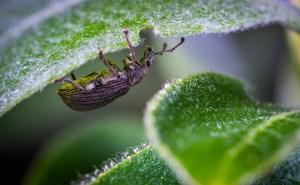 beetle organic pest control