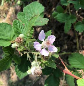 blackberry bush blooming
