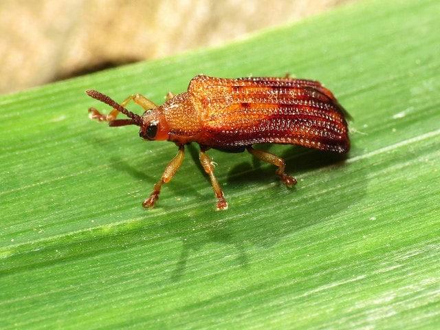 Leaf Miner (Liriomyza spp) – It's Symptoms and Damage Prevention
