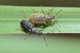 dealing with weevils