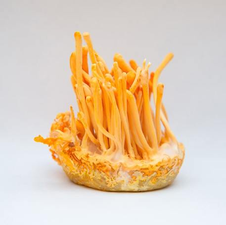 health benefits of cordyceps mushrooms