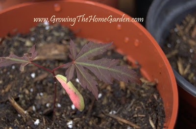 Growing Japanese Maples From Seed Growing The Home Garden