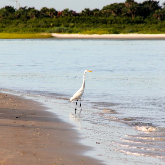 great egret on the beach at New Smyrna beach