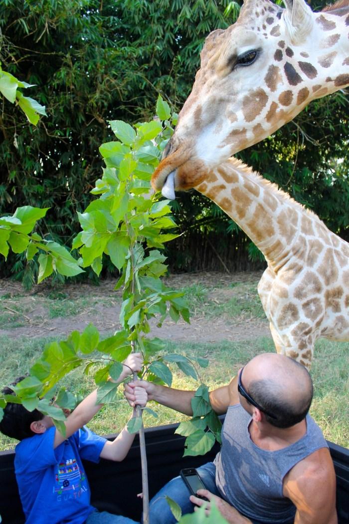 feeding giraffes at Auto Safari Chapin
