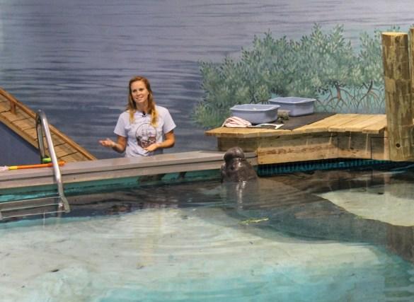 Snooty at the Parker Manatee Aquarium