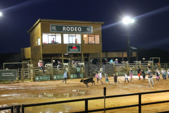 Cow scramble during the rodeo at Westgate River Ranch