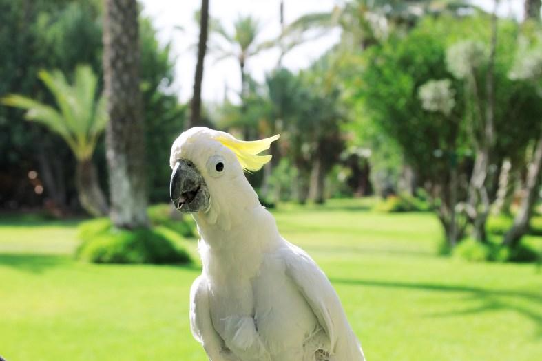 Cockatoo at Dar Ayniwen