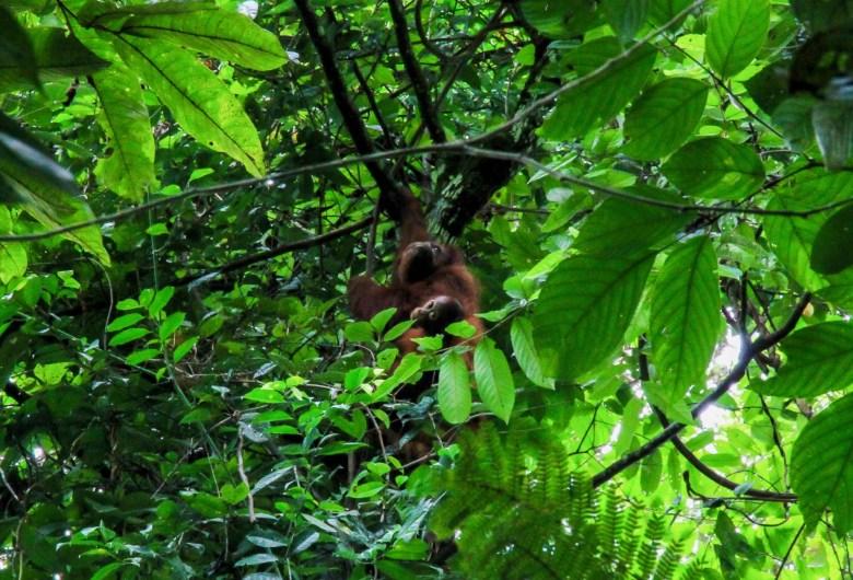 Malaysia orangutans