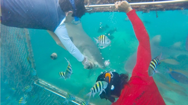 Ocean encounters feeding lemon sharks in Curacao