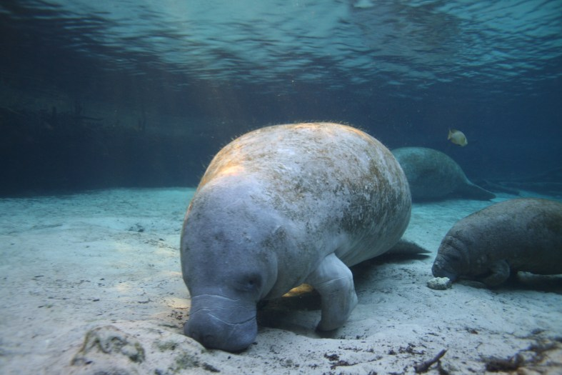 tips for swimming with manatees in Florida