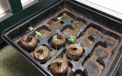 Seeds from Robert Bergman