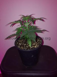 24 day old pot plant