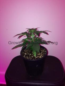ak-47 cannabis plant