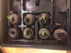 Marijuana bag seed