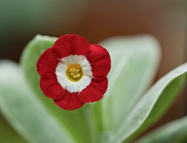 Red with Farina 2019 Garden or Border Auricula Seeds