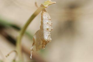fritillary chrysalis