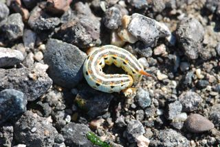 small whiteline caterpillar