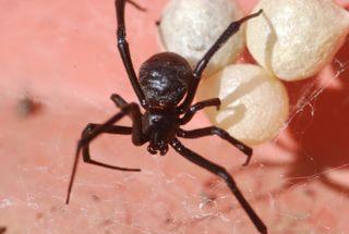 black widow with egg sacs