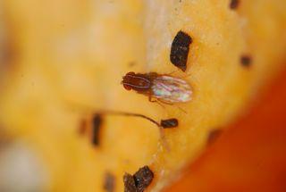 zaprionus fruit fly