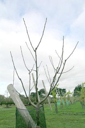 Apple-Pruning-3-Maya_532390