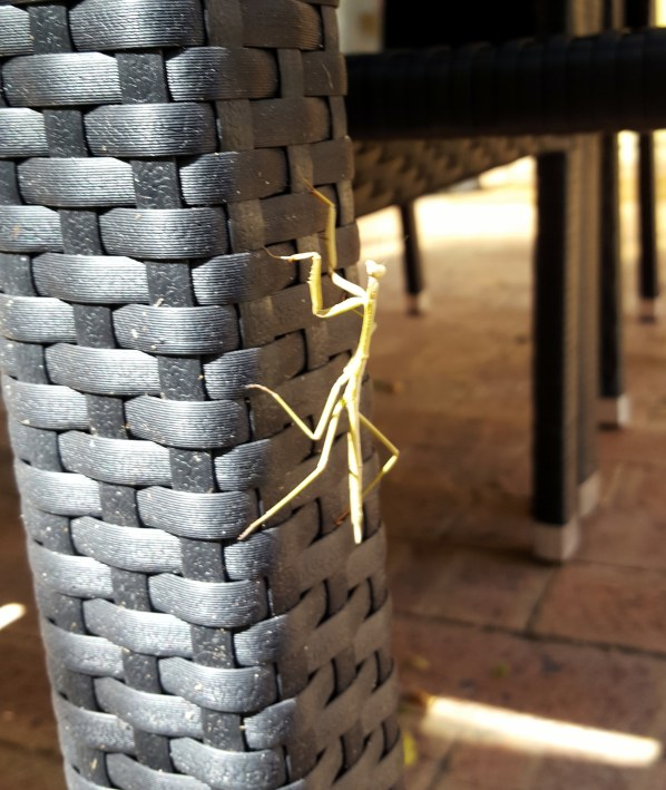 20170102 praying mantis 1