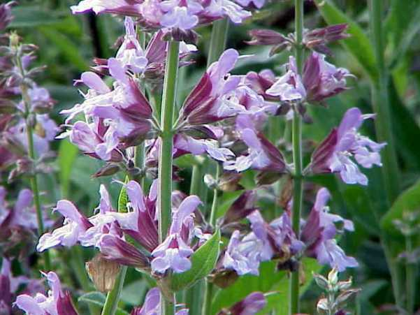 Salvia_officinalis0.jpg