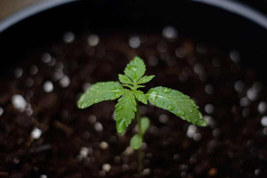 Cannabis sprout germinating in soil