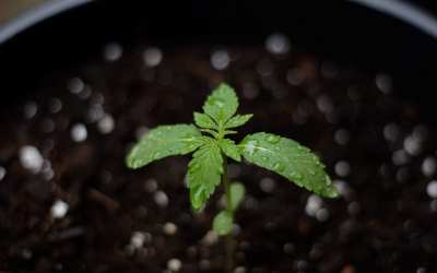 Cannabis seedlings – How to grow healthy plants and avoid stunted growth