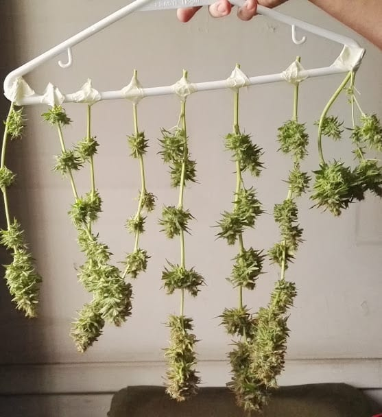 dry hanging Cannabis branches
