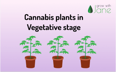 What happens in the vegetative stage of a Cannabis plant