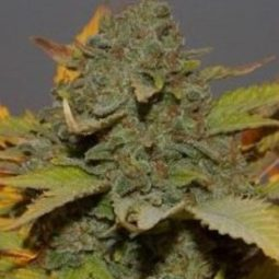 green-poison-fast-version-sweet-seeds-growshop-growmart