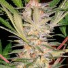 growmart-sweet-afgani-delicious