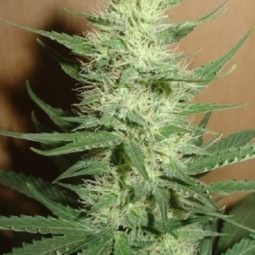 growmart-big-bud-vision-seeds