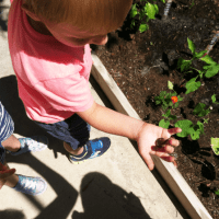 Preschool Vegetable Garden – 6 Weeks Later
