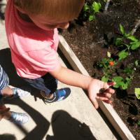 Preschool Vegetable Garden – 6 Weeks Later