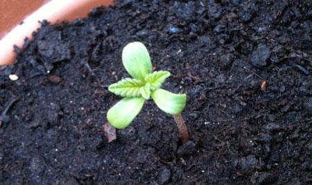 3-leaf marijuana seedling emerges from the soil