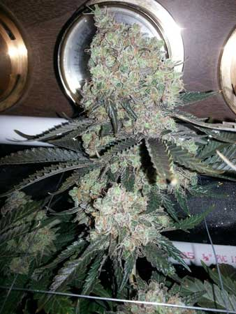 This Critical Hog bud grew in a classic cannabis shape, often associated with Indica strains
