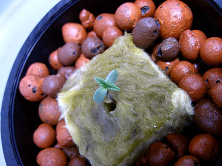 Tiny marijuana seedling just sprouted from rockwool in a hydroponic setup