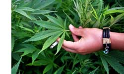 Marijuana in your hand