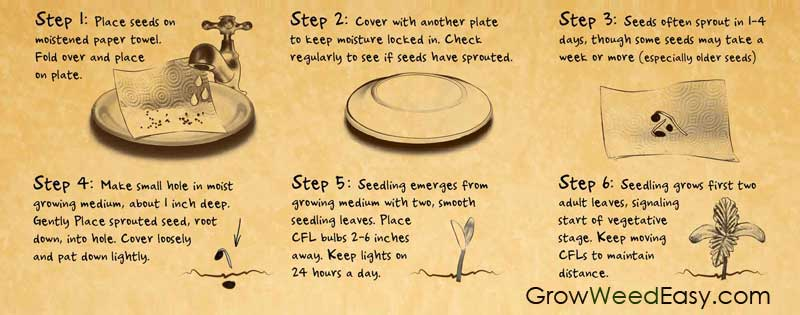 Click to learn more about how to germinate marijuana seeds