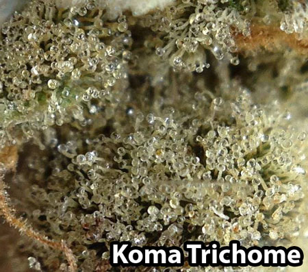 Incredible trichome closeup picture - thanks to amazing grower Koma Trichome