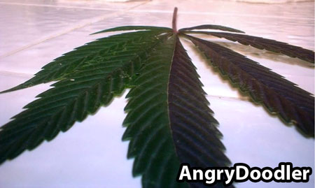 A second view of that purple-green cannabis split - 2-toned leaf randomly appeared on outdoor cannabis plant, no other leaves were affected